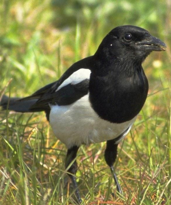 Oiseau noir et blanc for Oiseau orange et noir